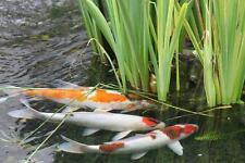 PHOTO ART  KATHY KAFKA Koi Fish Pond Zen 8x10  Gallery wall photography picture