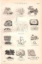 Impresión De 1880 ~ botánica líquenes callos de Roche orchil etc.