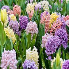3 5 10 Bulb Prepared Bedding Hyacinth Corm Prarl Blue Pink White Mixed - 16Cm
