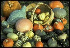 Squash Seed: Winter Squash Mixture  Fresh Seed  FREE Shipping