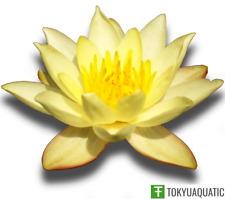 Nymphaea Helvola Petite Yellow Hardy Water Lily Tuber Live Pond Plant Rhizome