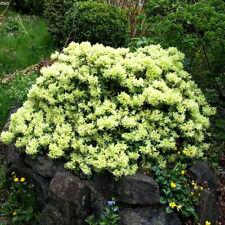 3 X RHODODENDRON 'SHAMROCK' EVERGREEN BUSHY SHRUB HARDY GARDEN PLANT IN POT