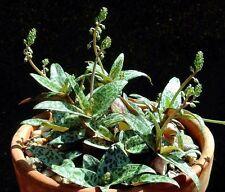 Scilla Violacea rare ledebouria socialis exotic bulb seed succulent aloe 5 SEEDS