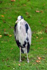Grey Heron Regent's Park London England UK Photograph Picture