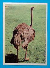 Figurina Panini-ANIMALI DI TUTTO IL MONDO 1965-n.232-STRUZZO-rec