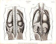 1814 fecha de impresión anatomía ~ ~ órganos internos columna vertebral abdominal vísceras