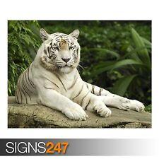 White Tiger Singapour (3773) Animal Poster-Photo Poster print ART * Toutes Les Tailles