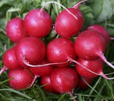 200+ NEW Non-GMO Radish Seed - Champion Cherry Belle Crimson Giant Scarlet Globe