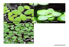 Live Aquarium Floating Plants / Frogbit / Pistia / Salvinia / Red Root / Others