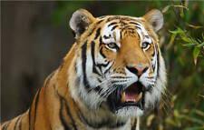 Amur Tiger  Predator Muzzle Full Wall Mural Photo Wallpaper Print Home 3D Decal
