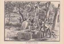 Abschälen der Korkeichen HOLZSTICH von 1888 Korkeiche Weinkorken