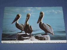 Vintage Pelicans In Tropical Florida Postcard