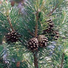Huile essentielle PIN SYLVESTRE - pinus sylvestris