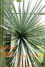 Yucca rigida @ bildet kräftige Stämme @ bis -15°C frosthart @Stammyucca@10 Samen
