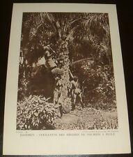 PHOTO 1930-1936 FRANCE AFRIQUE COLONIES DAHOMEY CUEILLETTE REGIMES PALMIER HUILE