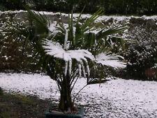 Trachycarpus fortunei-très rustique Windmill Palm-Graines