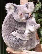 Koala Mom Glossy Poster Picture Photo baby mum marsupial australia cute 1353