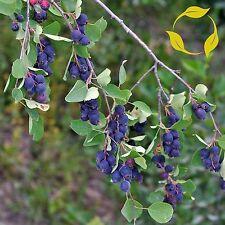 SASKATOON SERVICEBERRY Amelanchier Alnifolia 15,30 SEEDS