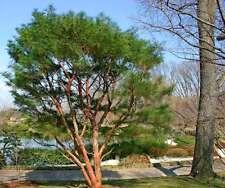 Japanese Red Pine, Pinus densiflora, Tree Seeds (Bonsai, Hardy Evergreen)