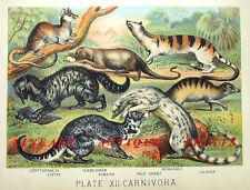 Mongoose Genet Civet Meerkat Carnivores ~ 1880 Animal Chromolithograph Art Print
