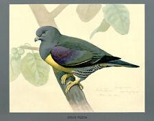 Green Pigeon - 1927 - Bird Illustration Poster