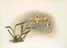 Odontoglossum Excellens By Joseph Sander Floral Print