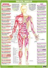 ANATOMIA Muscolare Poster-ANTERIORE Deep & superficiale muscolo scheletrico Grafico