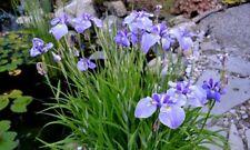 Iris ensata 'Edens Paintbrush'   - Marginal Pond Plants  - Pond Plants - Water P