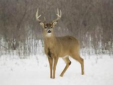 DEER IN THE SNOW GLOSSY POSTER PICTURE PHOTO antlers doe elk moose red roe 838