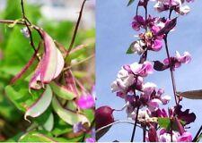 Most Beautiful & Delicious Asia or Dark Purple Hyacinth Bean & Flowering Seeds