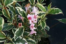 Weigelie Weigelia florida 'Nana Variegata' 40 - 60 cm im Container