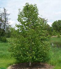 Japanese White Birch, Betula platyphylla japonica Whitespire, Tree Seeds (Fast)