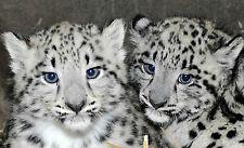 SNOW LEOPARD (CAT) POSTER 1 (SIZES-A5-A4-A3-A2) + A FREE SURPRISE A3 POSTER