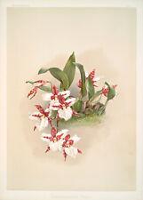 Odontoglossum Rossii By Joseph Sander Floral Print