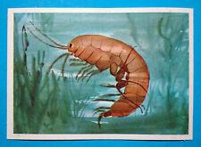 Figurina Panini-ANIMALI DI TUTTO IL MONDO 1965-n.305-PULCE D'ACQUA-rec