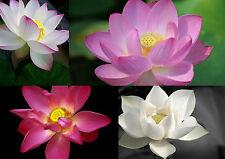 5 - 20 Samen Nelumbo nucifera - Echte (indische) Lotusblume Lotus MIX
