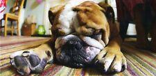 XXL-Ansichtskarte: kleine englische Bulldogge schläft auf dem Teppich