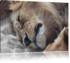 Bezauberndes kuschelndes Löwenpaar  Leinwandbild Wanddeko Kunstdruck