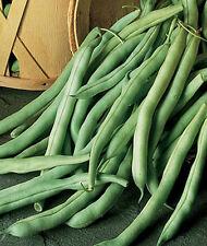 Heirloom Burpee Stringless Green Pod OP  Bean Seeds 2000 seeds per pound