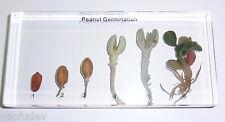 Peanut Arachis hypogaea 6 Stages Germination Set Education Plant Specimen