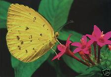 Australien: Grußkarte: Eurema hecabe - Schmetterling