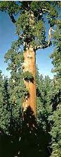 Sequoiadendron giganteum Giant Sequoia Seeds!