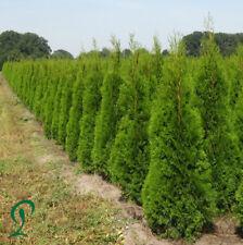 Lebensbaum Thuja Smaragd 140-160 cm, 6-15 Lebensbäume, Heckenpflanzen, Hecke.