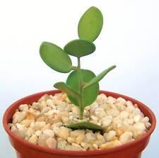 """Xerosicyos danguyi, rare succulent plant cactus vine 4"""""""
