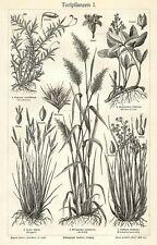 Torfpflanzen Schilf Torfmoos Wollgras Holzstich von 1905  Heidekraut Torf Moor