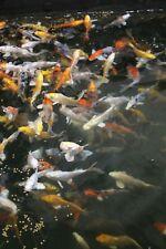"Mixed Koi 4-6"" - Pond/Tench/Goldfish/Kohaku/Chagoi/Sanke - MF Aquatics"