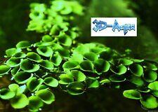 Salvinia Cucculata (Asian Watermoss) Aquarium Floating Plant