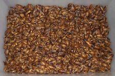Dubia Roach Feeders - Free Shipping +10% Bonus