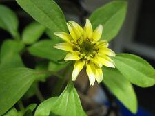30 + Vanilla Sprite Creeping Zinnia Flower Seeds Annual