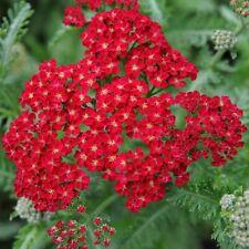 Red Yarrow Seeds, Rubra, Easy Grow Perennial, Herb Flower, Butterflies
